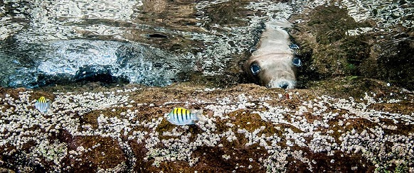 """National Geographic's photo of the day:26th December"" Shy Sea Lion National Geographic's photo of the day: 26th December National Geographic's photo of the day: 26th December sea lion midriff islands 74386 990x7421"