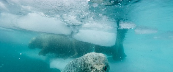 National Geographic's photo of the day: 24th January National Geographic's photo of the day: 24th January atlantic walrus greenland nicklen 75331 990x7421