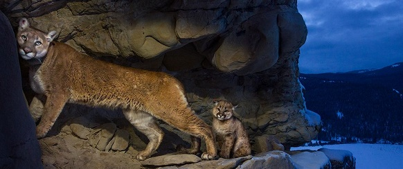 """National Geographic photo of the day: 5th January"" National Geographic's photo of the day: 5th January National Geographic's photo of the day: 5th January cougars teton winter 74612 990x7421"