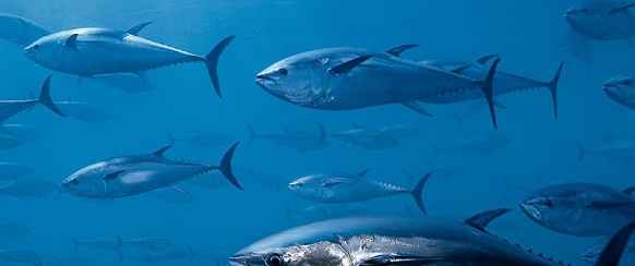 """National Geographic's photo of the day"": 17th February National Geographic's photo of the day: 17th February National Geographic's photo of the day: 17th February bluefin tuna skerry 76309 990x7421"