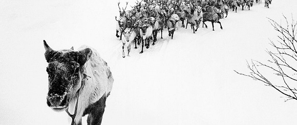 """National Geographic's photo of the day: 7th February National Geographic's photo of the day: 7th February National Geographic's photo of the day: 7th February reindeer herd russia 76017 990x7421"