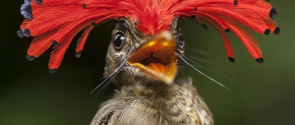 """National Geographic photo of the day: 7th March"" National Geographic's photo of the day: 7th March National Geographic's photo of the day: 7th March amazonian royal flycatcher 77064 990x7421"