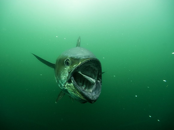 """""""National Geographic's photo of the day: 3rd March"""" National Geographic's photo of the day: 3rd March National Geographic's photo of the day: 3rd March bluefin tuna feeding skerry 77066 990x742"""