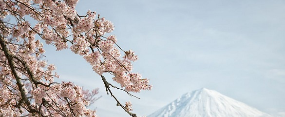 National Geographic's photo of the day: 7th May National Geographic's photo of the day: 7th May mount fuji cherry blossoms 79190 990x7421